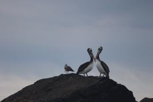 Baja - pelicanos