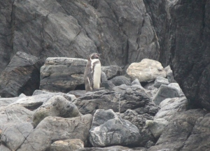 Baja - Pinguinos